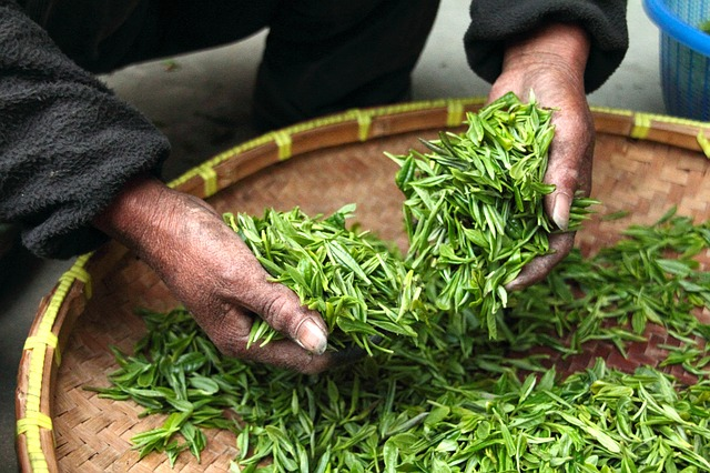 freshly grown tea leaves